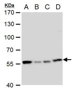 TCP-1 eta Antibody in Western Blot (WB)