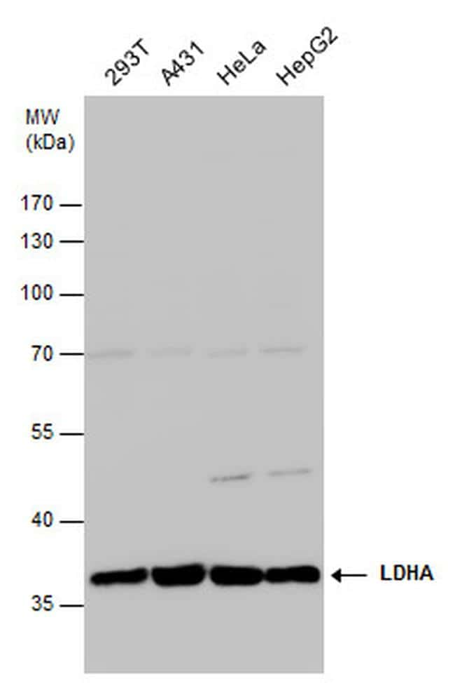 LDHA Antibody in Western Blot (WB)