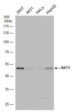 UAP56 Antibody in Western Blot (WB)