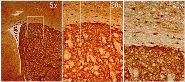 MSI1 Antibody in Immunohistochemistry (Frozen) (IHC (F))