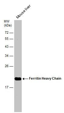Ferritin Heavy Chain Antibody in Western Blot (WB)