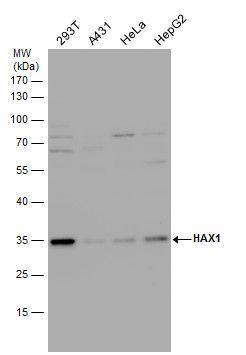 HAX1 Antibody in Western Blot (WB)