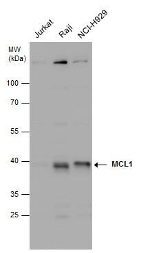 MCL-1 Antibody in Western Blot (WB)