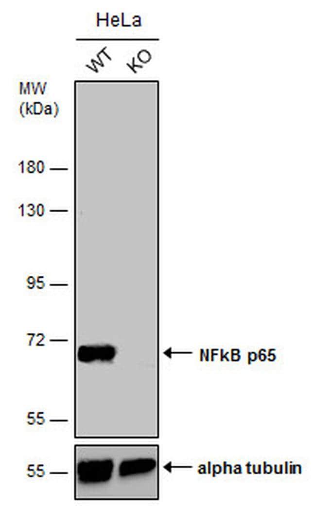 NFkB p65 Antibody in KnockOut