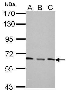 PPP2R1A Antibody in Western Blot (WB)