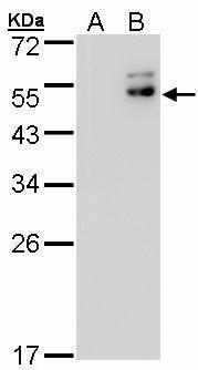 DPF2 Antibody in Western Blot (WB)