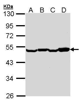 EEF1A2 Antibody in Western Blot (WB)