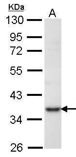 PRPS1 Antibody in Western Blot (WB)