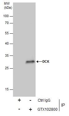 DCK Antibody in Immunoprecipitation (IP)