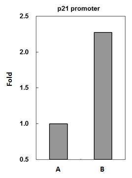p53 Antibody in ChIP assay (ChIP)