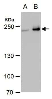 Collagen III Antibody in Western Blot (WB)
