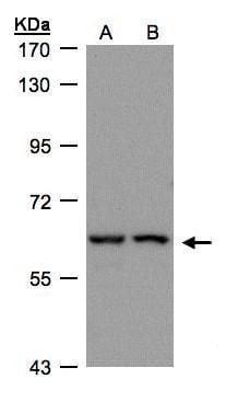 FRS2 Antibody in Western Blot (WB)
