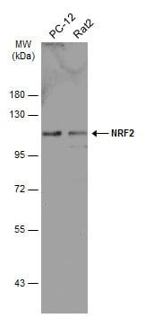 Nrf2 Antibody in Western Blot (WB)