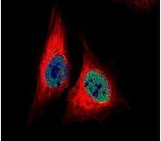 TEAD4 Antibody in Immunofluorescence (IF)