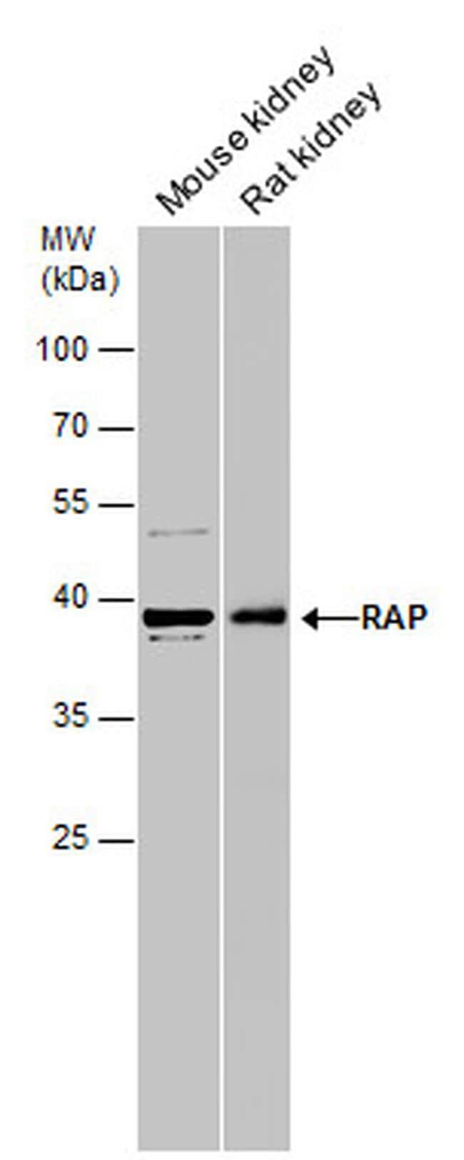 RAP Antibody in Western Blot (WB)