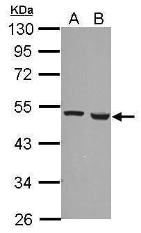 FDXR Antibody in Western Blot (WB)