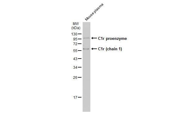 C1r Antibody in Western Blot (WB)