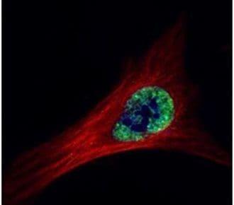 ETS2 Antibody in Immunofluorescence (IF)
