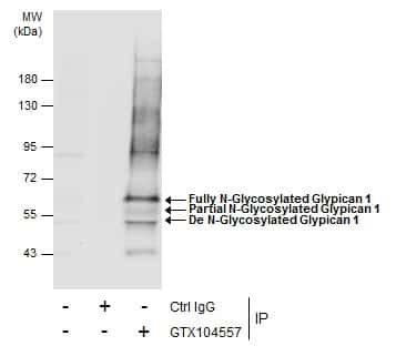 Glypican 1 Antibody in Immunoprecipitation (IP)