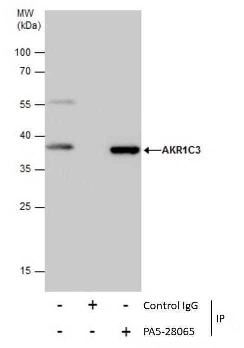 AKR1C3 Antibody in Immunoprecipitation (IP)