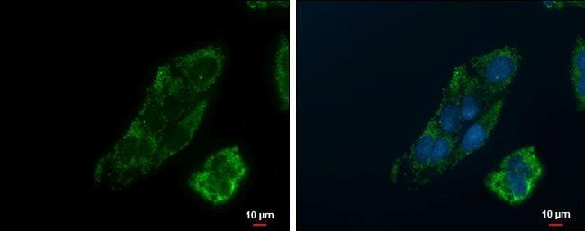 PCK2 Antibody in Immunocytochemistry (ICC/IF)