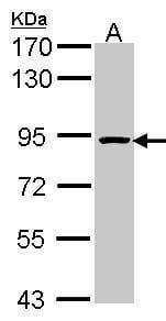 ORC3 Antibody in Western Blot (WB)