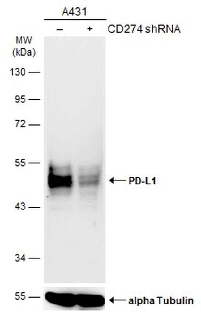 PD-L1 Antibody in KnockDown