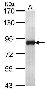 ILF1 Antibody in Western Blot (WB)