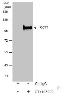 OCT1 (POU2F1) Antibody in Immunoprecipitation (IP)