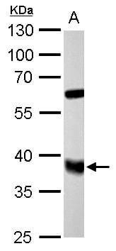 FDPS Antibody in Western Blot (WB)