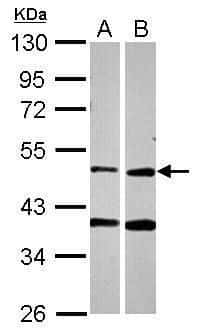 PPOX Antibody in Western Blot (WB)