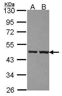 ZNF396 Antibody in Western Blot (WB)