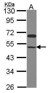 GRINL1A Antibody in Western Blot (WB)