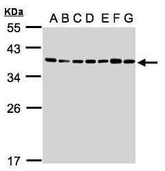 U2AF1 Antibody in Western Blot (WB)