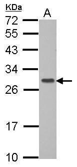 GIMAP6 Antibody in Western Blot (WB)