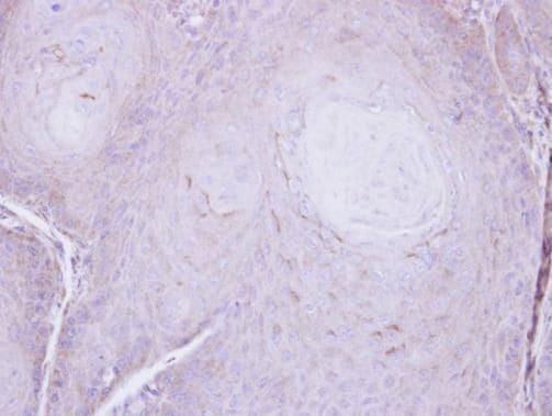 C16orf62 Antibody in Immunohistochemistry (Paraffin) (IHC (P))