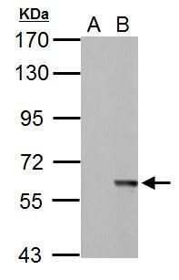 MST2 Antibody in Western Blot (WB)