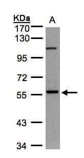 NEK3 Antibody in Western Blot (WB)