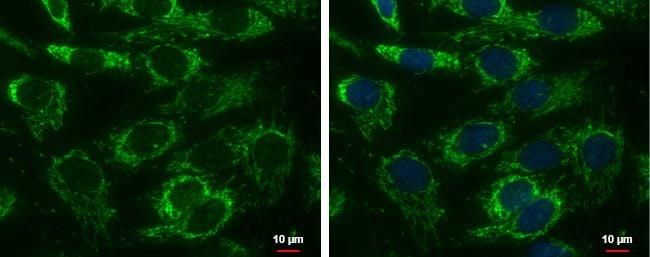 Adenylate Kinase 4 Antibody in Immunofluorescence (IF)