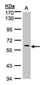 MAPK15 Antibody in Western Blot (WB)