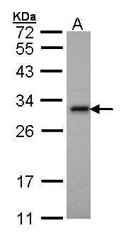 Adenylate Kinase 2 Antibody in Western Blot (WB)