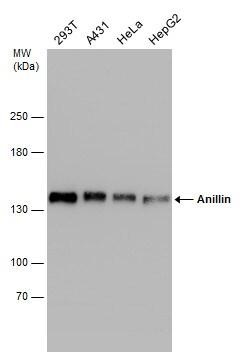 Anillin Antibody in Western Blot (WB)