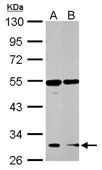 GHSR Antibody in Western Blot (WB)