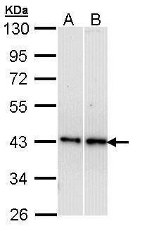 beta-3 Adrenergic Receptor Antibody in Western Blot (WB)