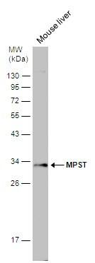 MPST Antibody in Western Blot (WB)