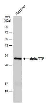 alpha TTP Antibody in Western Blot (WB)
