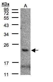 CMTM3 Antibody in Western Blot (WB)