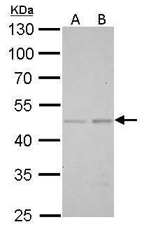 SMAD5 Antibody in Western Blot (WB)