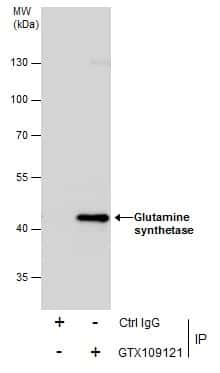 Glutamine Synthetase Antibody in Immunoprecipitation (IP)