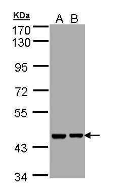 Aprataxin Antibody in Western Blot (WB)